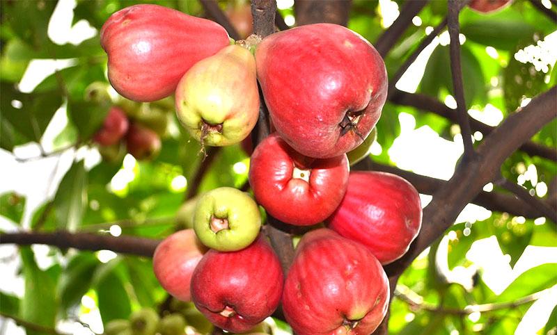 Manfaat Jambu Dersono atau Jambu Bol
