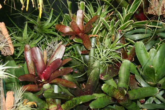 Plantas para terrarios venta de tillandsias y bromelias - Plantas para terrarios ...