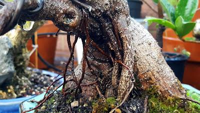 aerial roots ficus microcarpa bonsai