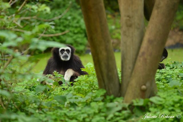 Singes d'Afrique au Bioparc Doué-la-Fontaine