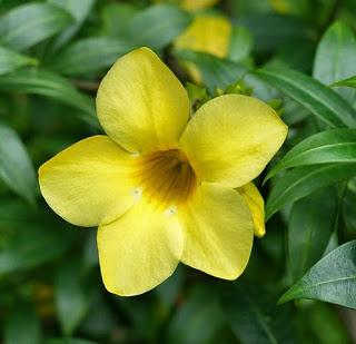 Biologi Bunga Alamanda