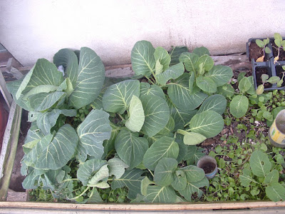 Several spring cabbage heads growing in a cold frame