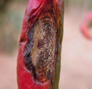 penyakit tanaman cabai