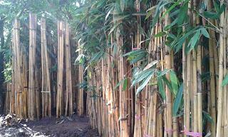 Jual Bambu Hias,Jual Bambu Panda,Jual Bambu Kuning,Harga Bambu Kuning