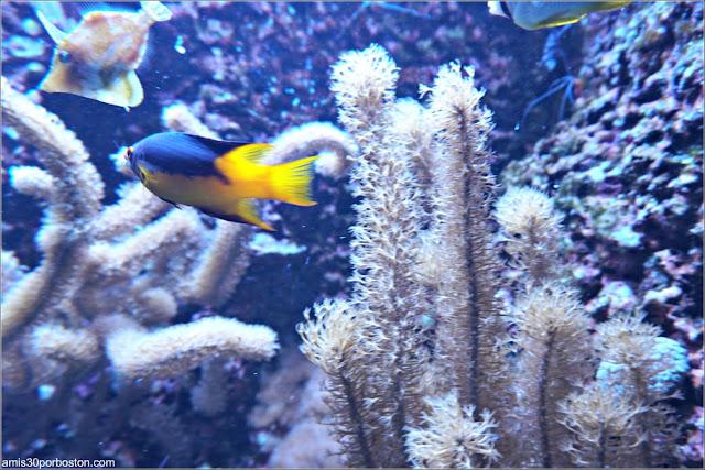 Peces del Caribbean Nearshore Reef en el Acuario de Boston