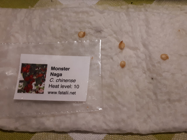 Monster Naga chili idätys