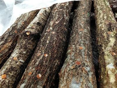 原木キクラゲの植菌
