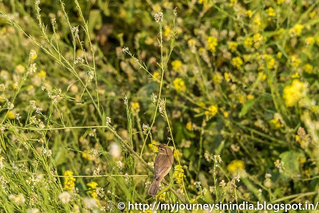 Mustard Field Andhra