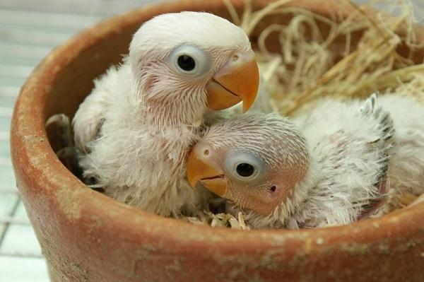 universitas burung panduan lengkap ternak lovebird sukses