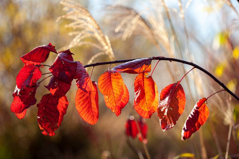 Ellicar Gardens, Doncaster, UK - Cotinus coggygria 'Grace' Otoño