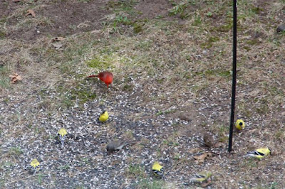 Cardinal, goldfinches, sparrow, junco ground feeding