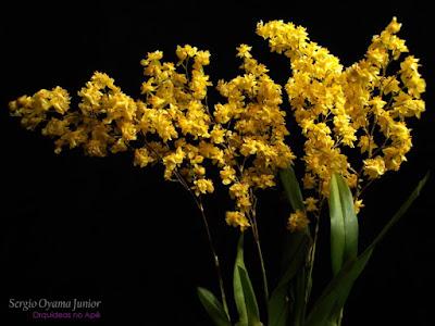 Micro Orquídea Oncidium Twinkle 'Yellow Fantasy'