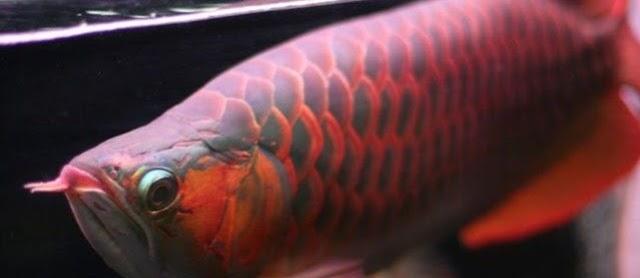Ini Dia Cara Merawat Ikan Arwana dalam Akuarium yang Benar