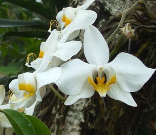 Gambar Bunga anggrek monopodial