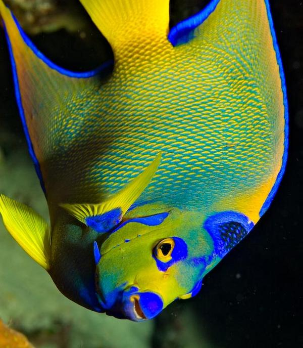 Queen Angelfish Facts And New Pictures | All Wildlife ...