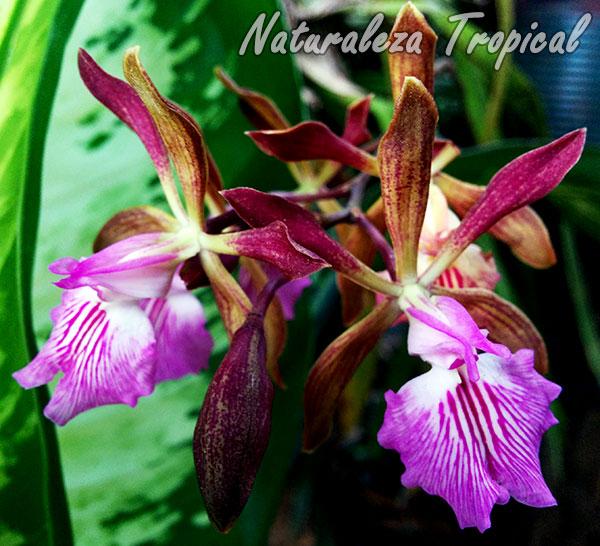 Flores de la famosa orquídea de chocolate, Encyclia phoenicea