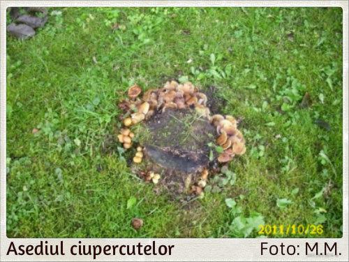 ciuperci pe ciot de copac