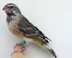 Ciri Perbedaan Burung Blackthroath dan Edel Sanger