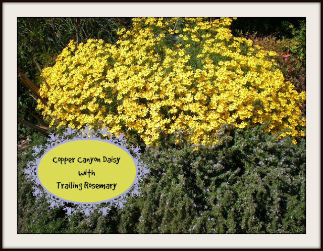 Copper Canyon Daisy with Trailing Rosemary