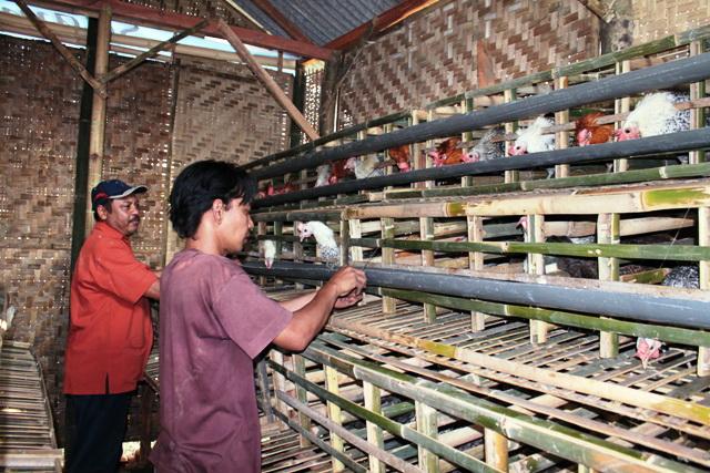 Aspek sosial | Penentuan lokasi kandang ayam arab ...