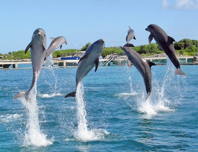 dolphins breach