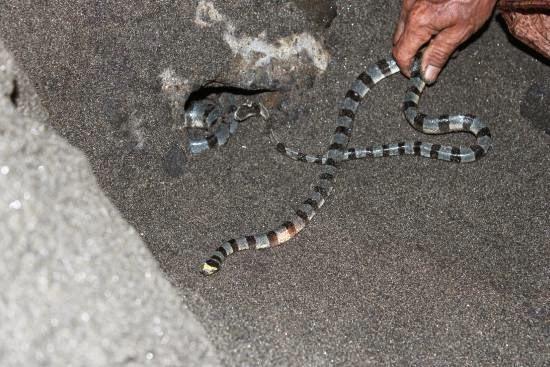 ular poleng