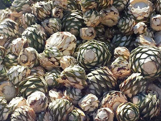 agave plant fruit images