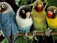 Asal Usul Burung Lovebird