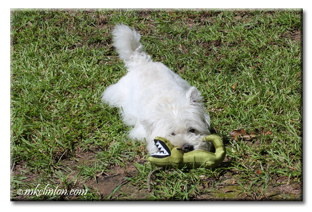 Pierre Westie wrestling toy alligator from BeCo Pets.