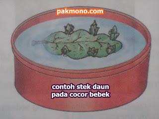contoh stek daun