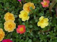 Bunga Pukul Delapan, Manfaat dan Cara Menggunakannya