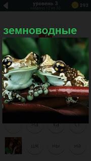 На листочке сидят две земноводные лягушки с выпученными глазами