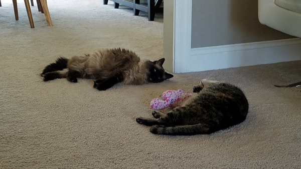 image of Matilda the Fuzzy Sealpoint Cat and Sophie the Torbie Cat lying on the floor with a pink plushy toy between them