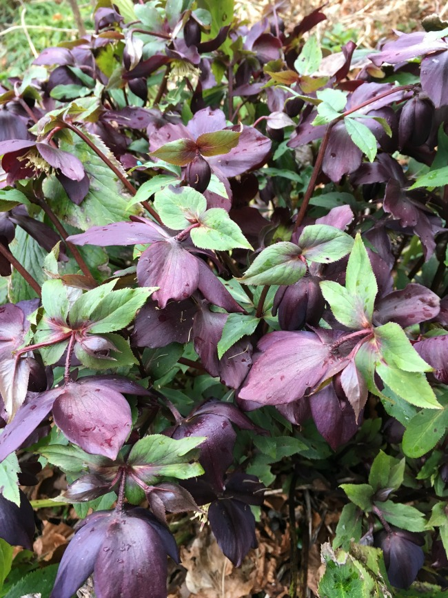 green leaves and very dark purple flowers of the lenten rose.