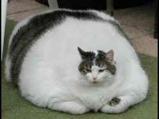 makanan kucing yang bagus pada saat diet