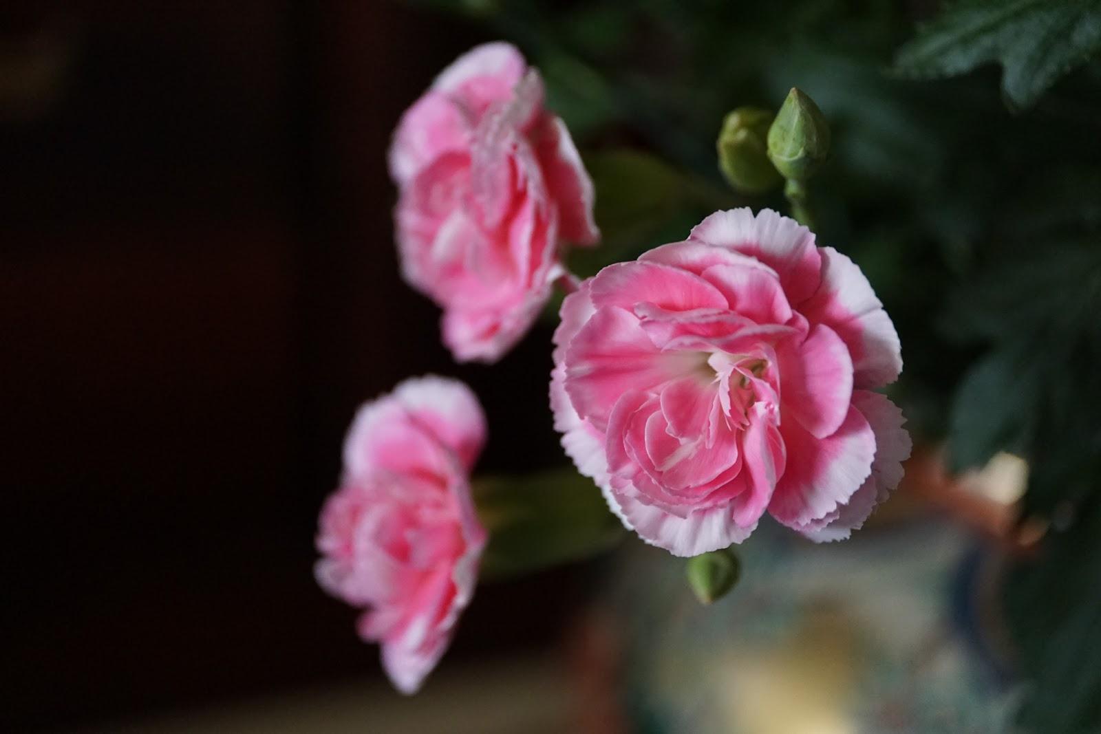 花瓶のピンクの花三輪