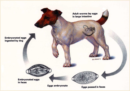De Worming Your Dogs Types Of Intestinal Worms Puppy Place Nigeria