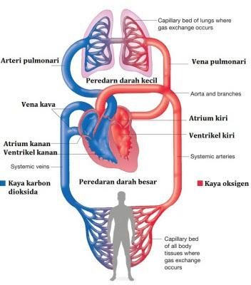 Peredaran darah besar dan kecil