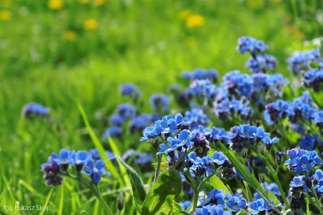 niebieskie niezapominajki w ogrodzie