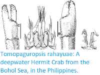 http://sciencythoughts.blogspot.co.uk/2017/06/tomopaguropsis-rahayuae-deepwater.html