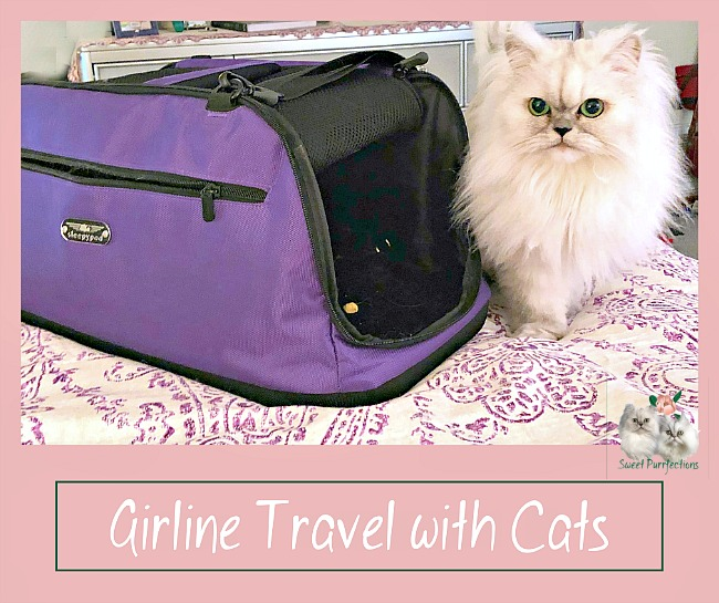 Truffle, a silver shaded Persian, with the Sleepypod Air carrier