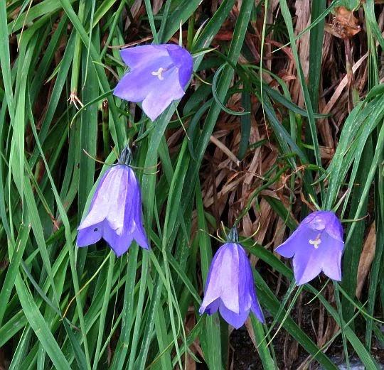 Dzwonek drobny (Campanula cochleariifolia).