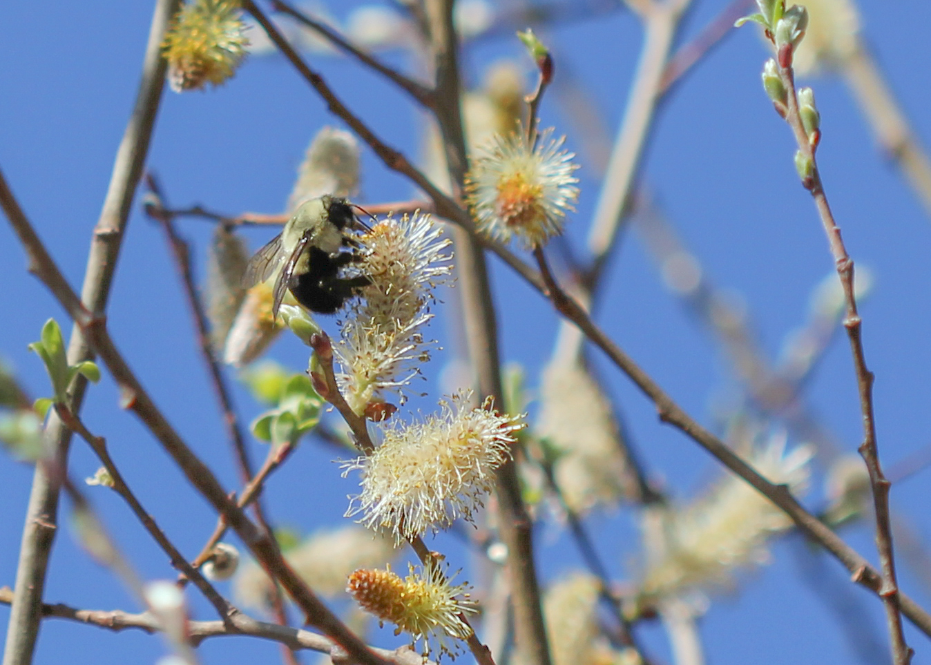 bee on male pussy willow tree - Pussy Willow Tree