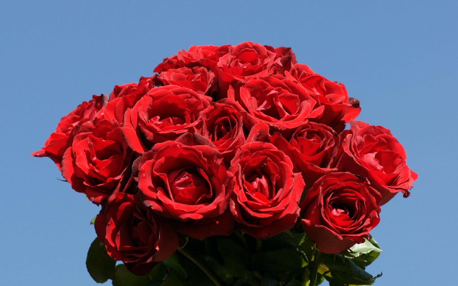 COOL WALLPAPERS: red rose wallpaper
