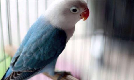 Lovebird Biola Biru