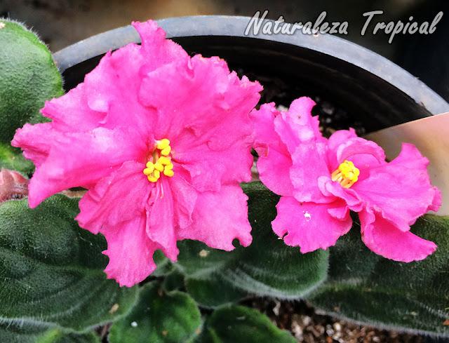 Es obligatorio mantener en interiores a las populares Violetas Africanas, género Saintpaulia