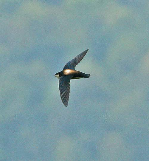 Birds of India - Photo of White-throated needletail - Hirundapus caudacutus