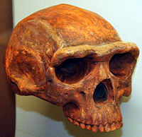 Homo erectus, Believed to be the Ancestral to modern humans and neanderthals.  The Evolution Hoax