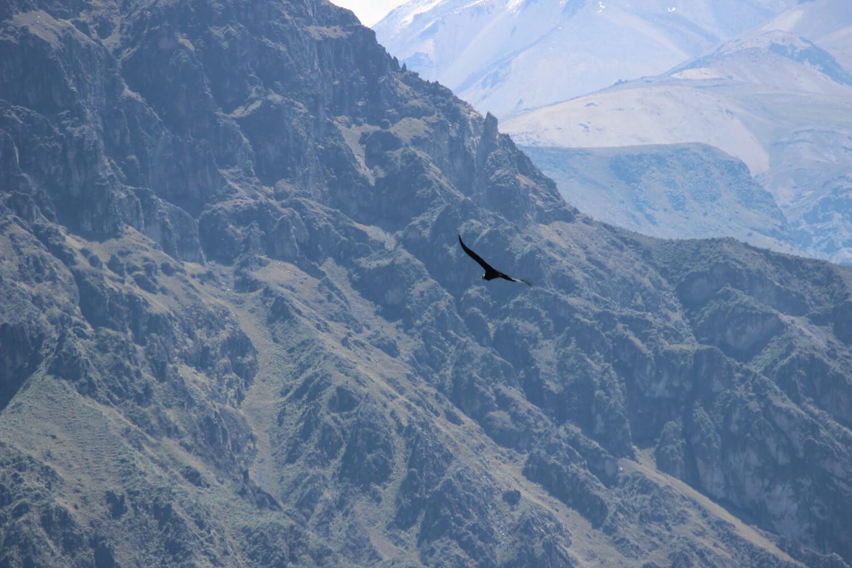 condor at the colca canyon