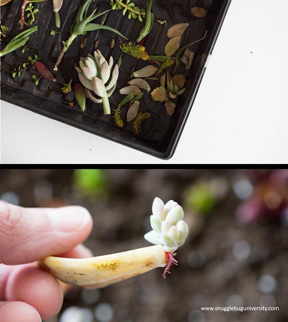Propogating succulents, new tea towels in the shop, plus new art too!